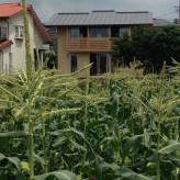 トウモロコシ畑と木組の家